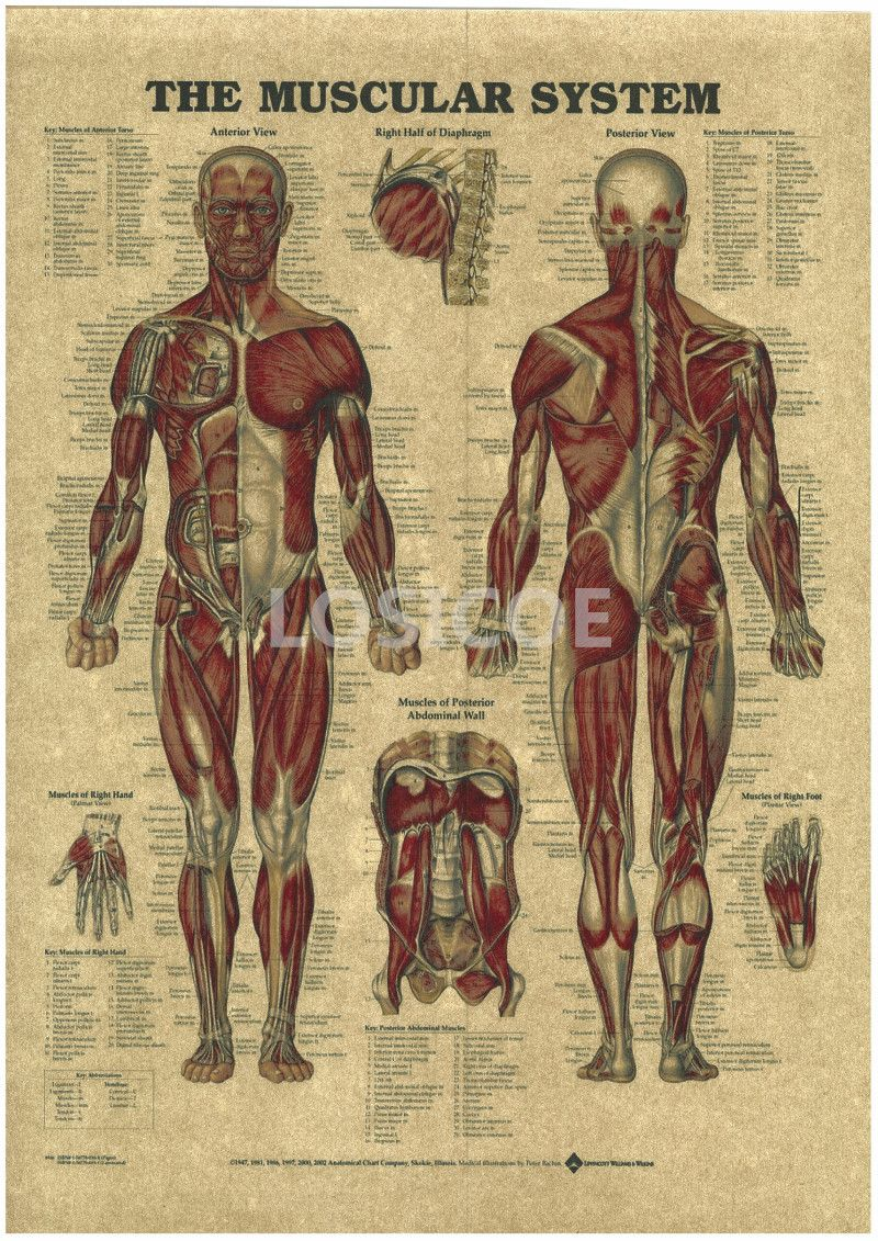 Vintage Medicine Human Anatomy Posters Kraft Paper Painting Wall Sticker Print Art Hospital Classrooms Interior Decoration A7 Anatomi Muskler Plakat