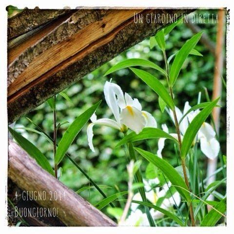 In diretta dal giardino: buongiorno! 253/365 iris e gigli #giardino #giardinoindiretta #fiori
