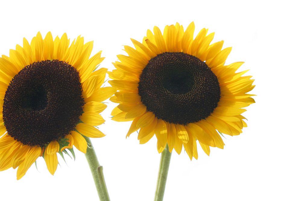 sunflowers  (mary jo hoffman)