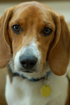 Ohhhhhh What A Looker Beautiful Beagle Beagle Puppy Begal