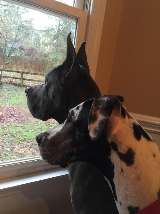 Our Great Danes Deacon And London Looking At A Kitty Climbing A