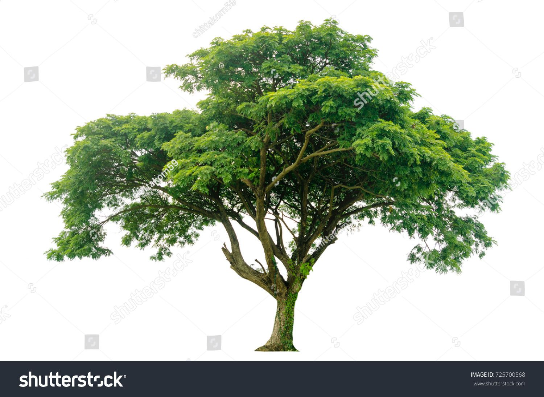 Samanea saman Tree isolated on white background.Rain Tree isolated on white background.Monkey Pod,East Indian Walnut Tree isolated on white background. ,