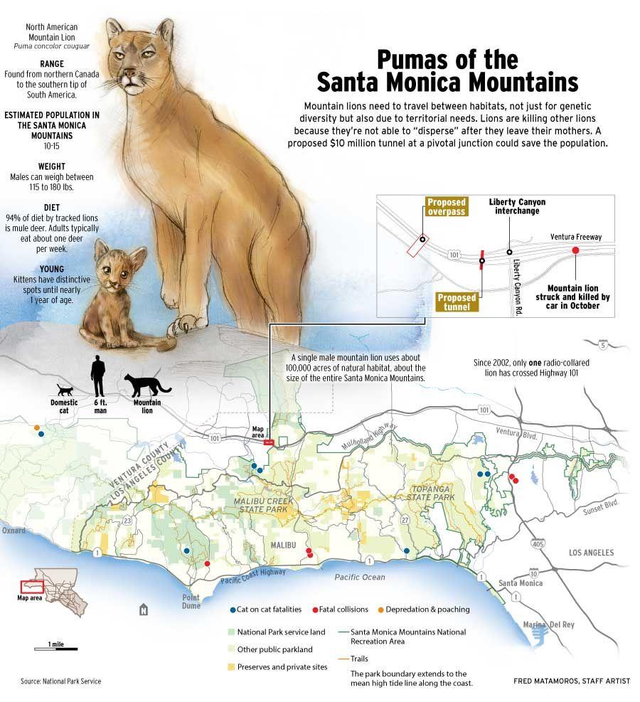 U S Mountain Lion Population Pumas of the Sa...