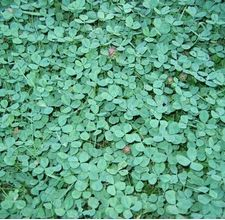How To Get Rid Of Clover In Rose Beds Flower Garden How To Dry Basil My Flower