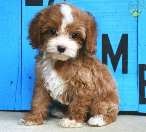 Balboa Cavapoo Puppy for Sale in Millersburg, OH