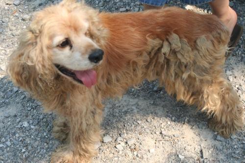Adopt Ticker On Petfinder Cocker Spaniel Dog Spaniel Dog Cocker Spaniel Mix