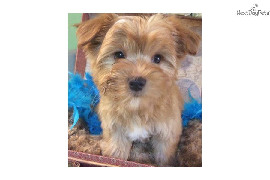 Cinnamon Morkie Yorktese Puppy For Sale Near Jacksonville
