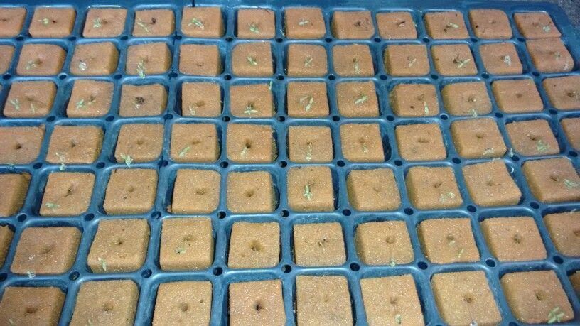 Germinando lavanda organica por semilla
