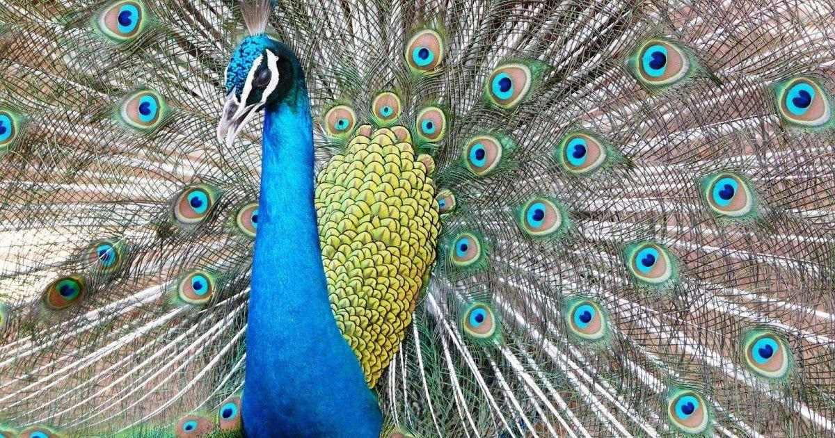 31 Gambar Kartun Burung Merak Gambar sketsa kumpulan