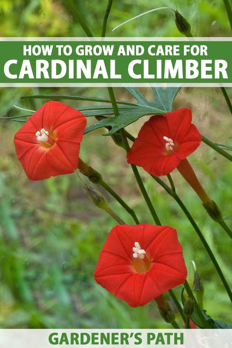 The Hummingbird Forum Cardinal Climber Or Cypress Vine Climber Plants Cypress Vine Trees To Plant