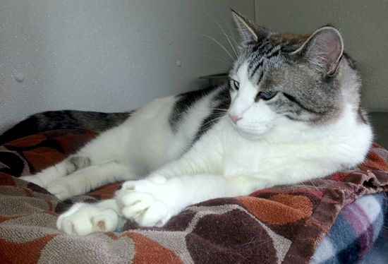 Linus Would Love To Be Your Lap Fungus Paws And Effect Tabby Cat Grey And White Cat Grey Tabby Cats