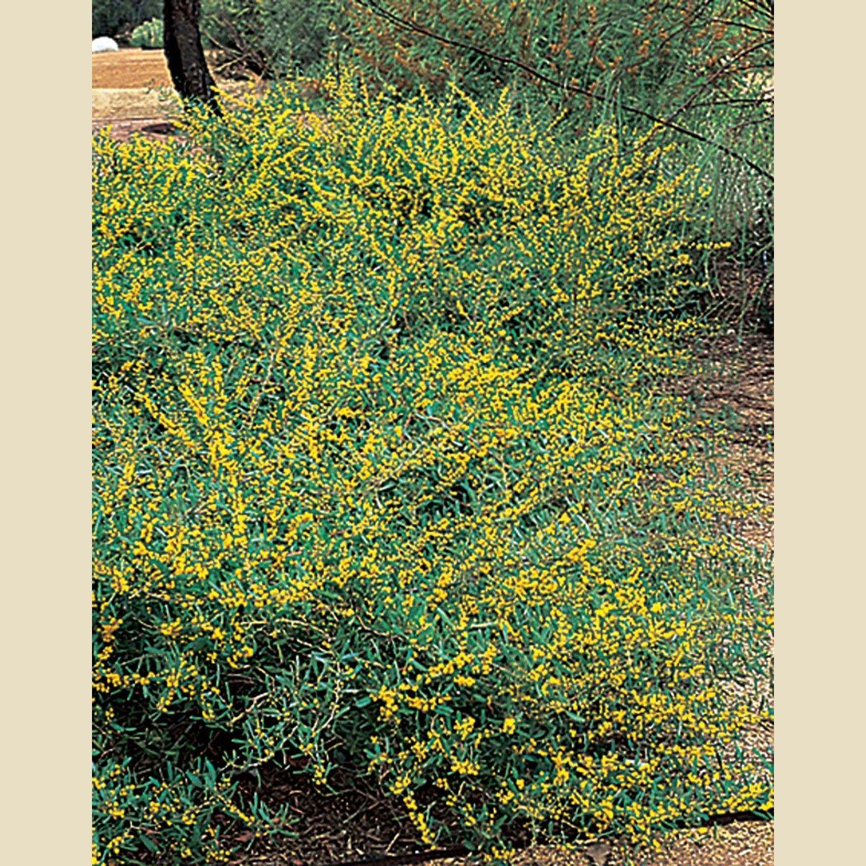 Acacia Redolens Ground Covers Plant Type Boething Treeland