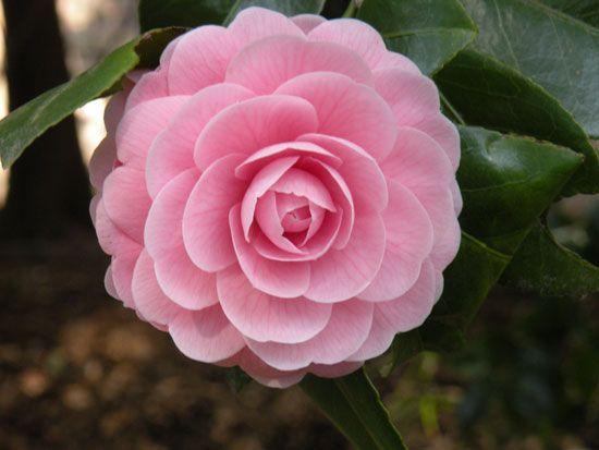 Camellia Japonica F Otome Camellia Flower Beautiful Flowers Lilac Flowers
