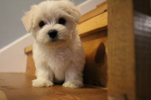 Litter Of 2 Maltese Puppies For Sale In Muscatine Ia Adn 50089