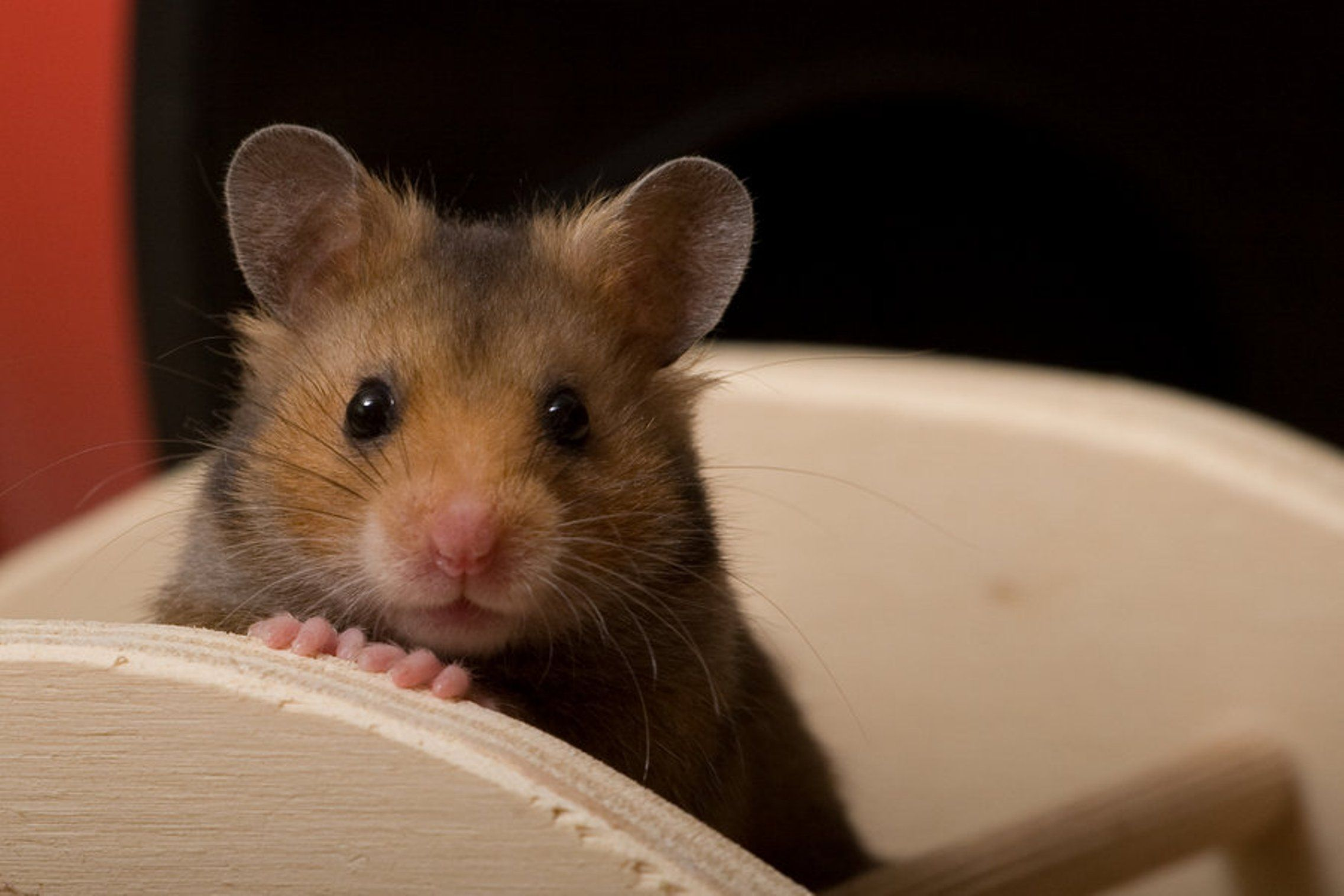 What are you looking at, human? | Hamsters | Pinterest ...