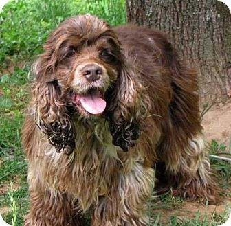 Oak Ridge, TN Cocker Spaniel. Meet Eli a Dog for
