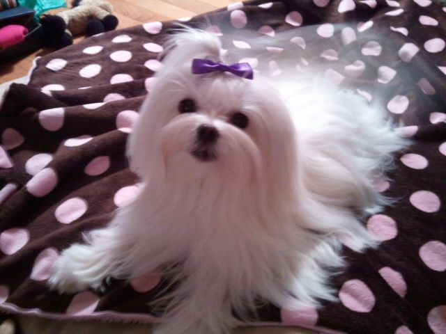 Maltese Puppy With Beautiful Long Hair Niedliche Welpen