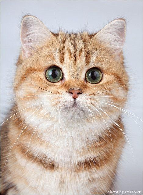 Golden Chiara Photo Gallery Hewan Lucu Kucing Cantik Cute Kittens