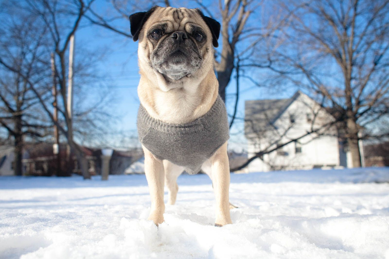 Miyagi Was The Most Popular Pug He Was Loved By So Many Humans