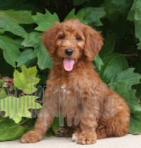 Sunshine Acres Goldenirish Doodle Puppies Goldendoodle