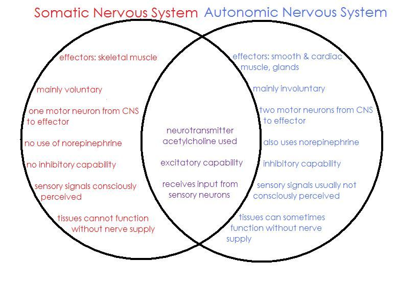 Somatic nervous system comparing and contrasting the autonomic somatic nervous system comparing and contrasting the autonomic and somatic nervous systems ccuart Choice Image