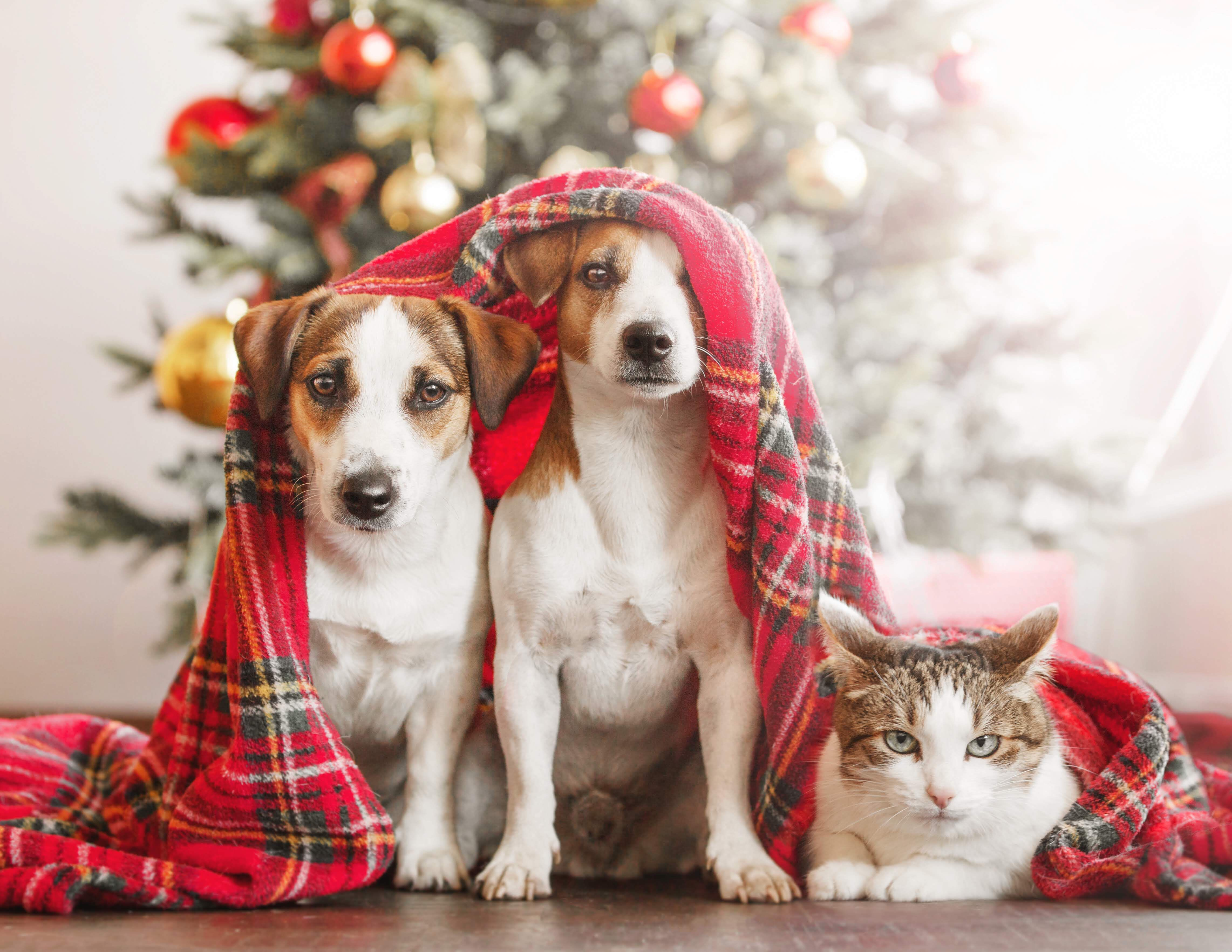 Cute Christmas pics with two Jack Russels and a grumpy