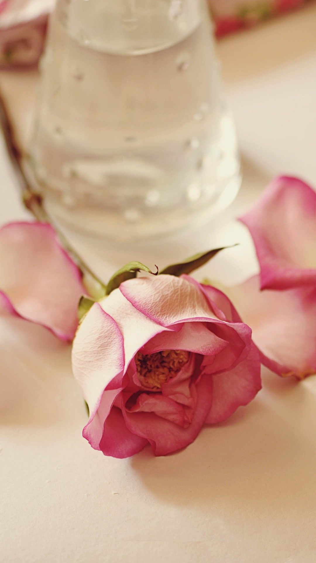Pure Rose On The Table iPhone 6 plus wallpaper