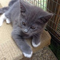 Stunning Russian Blue X Kittens For Sale I Have Some Lovely Long And Short Hair Kittens Needing New Homes Cats And Kittens Kittens Kitten For Sale