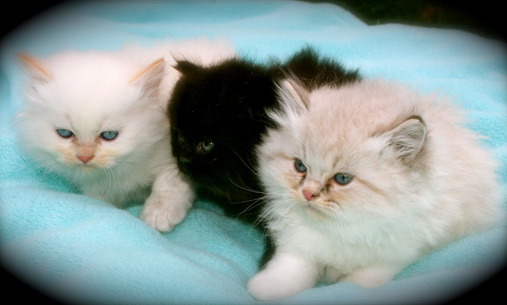 Purebred Kittens 4 Sale Bethlehem Carriage Company Cute Cats Cats And Kittens Kittens