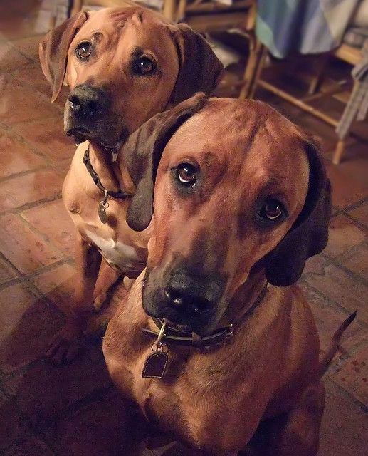 Pretty please... Rhodesian ridgeback, Dogs, Puppies