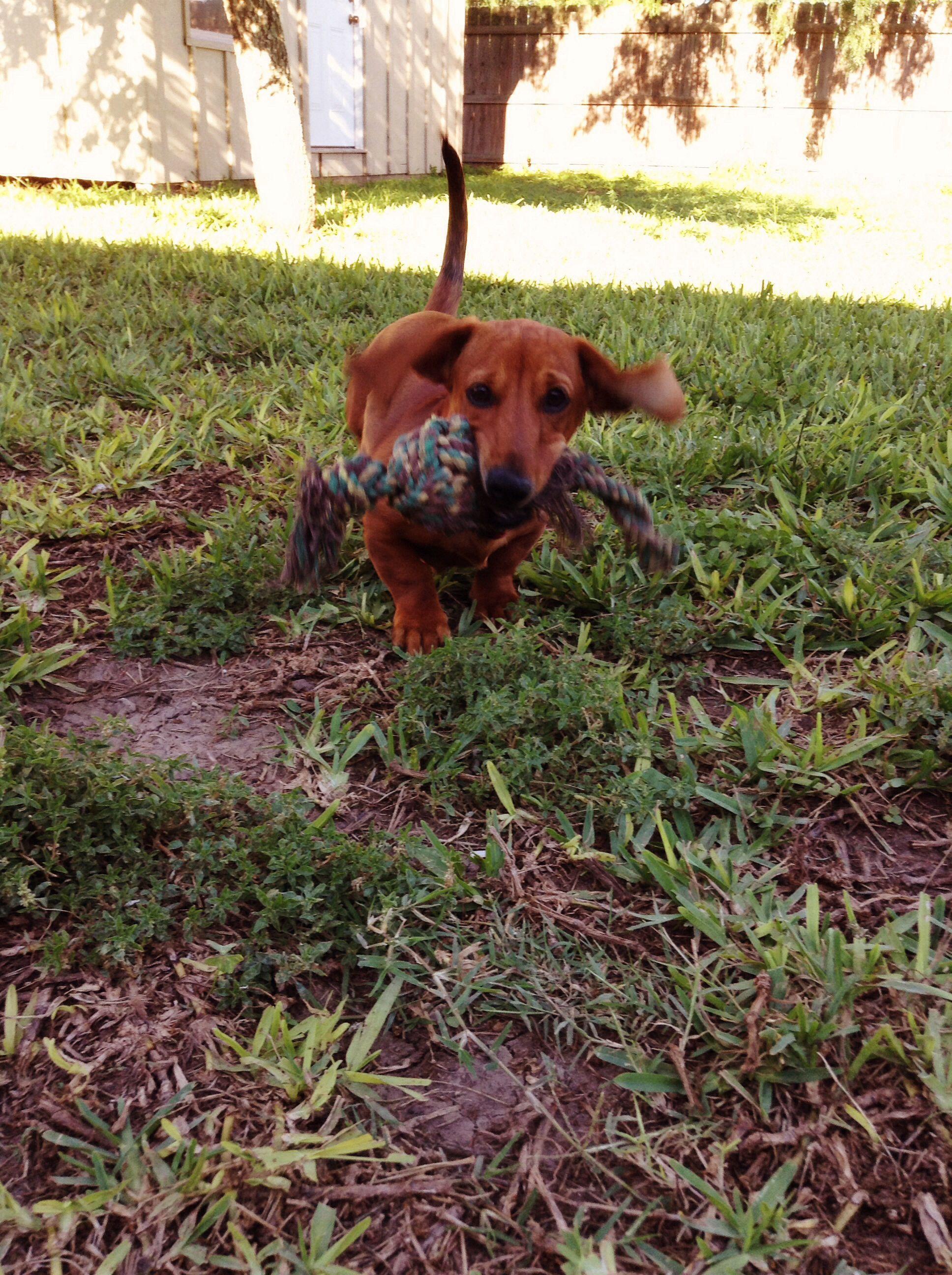 Teacup Dachshund Puppies Price Ideas