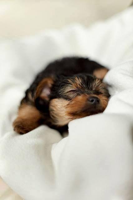 A Precious Puppy Sleeping Cute Baby Animals Yorkshire Terrier