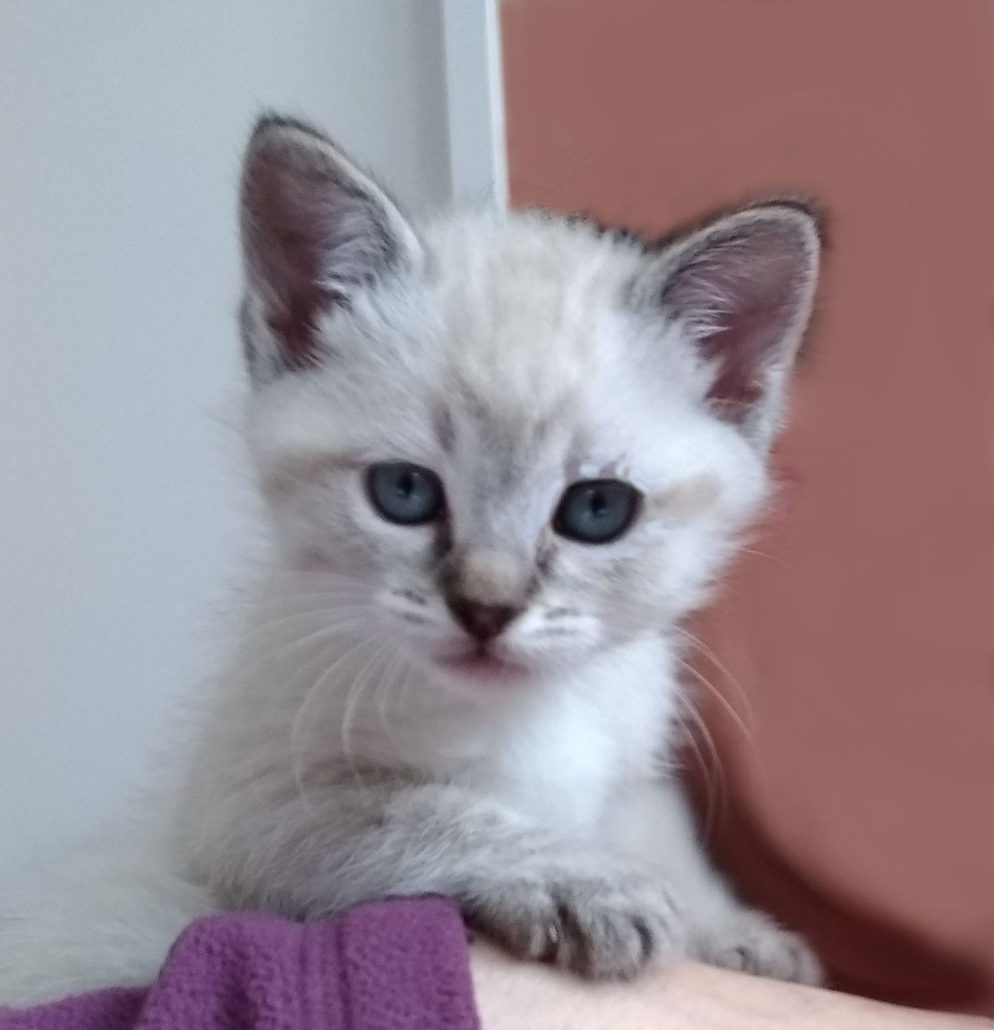 My Little Lilac Siamese Marshmallow Would Like To Have Some