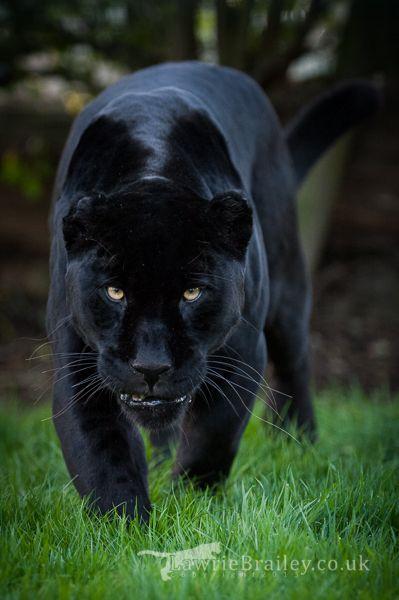 Cute Little Cat For Wallpaper Sheer Majesty Female Black Jaguar Panthera Onca By