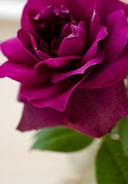 Harmony Cottage Magenta Rose With Images Flowers Love
