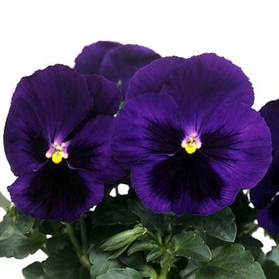 Pansy Majestic Giants Ii Deep Blue Blotch F1 Pansies Flowers Pansies Flower Seeds