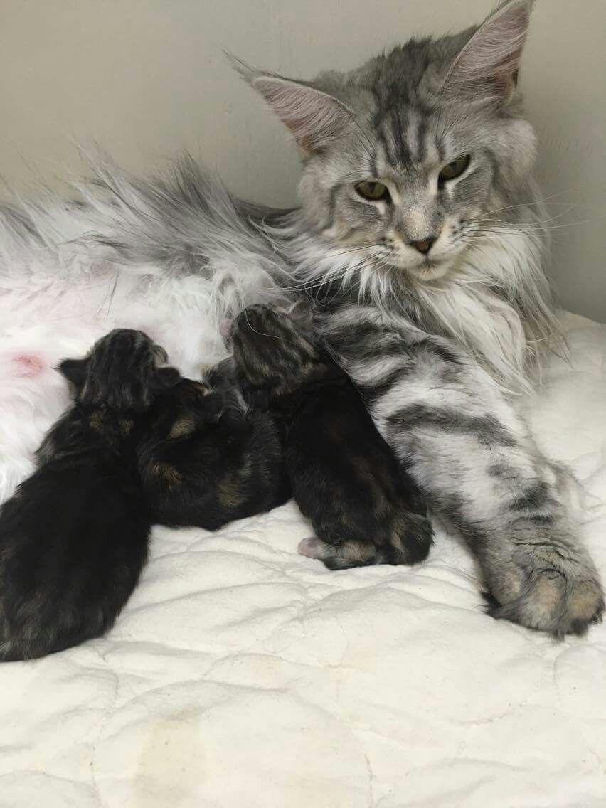 Beautiful Mama Kittens Cutest Cat Mom Crazy Cats