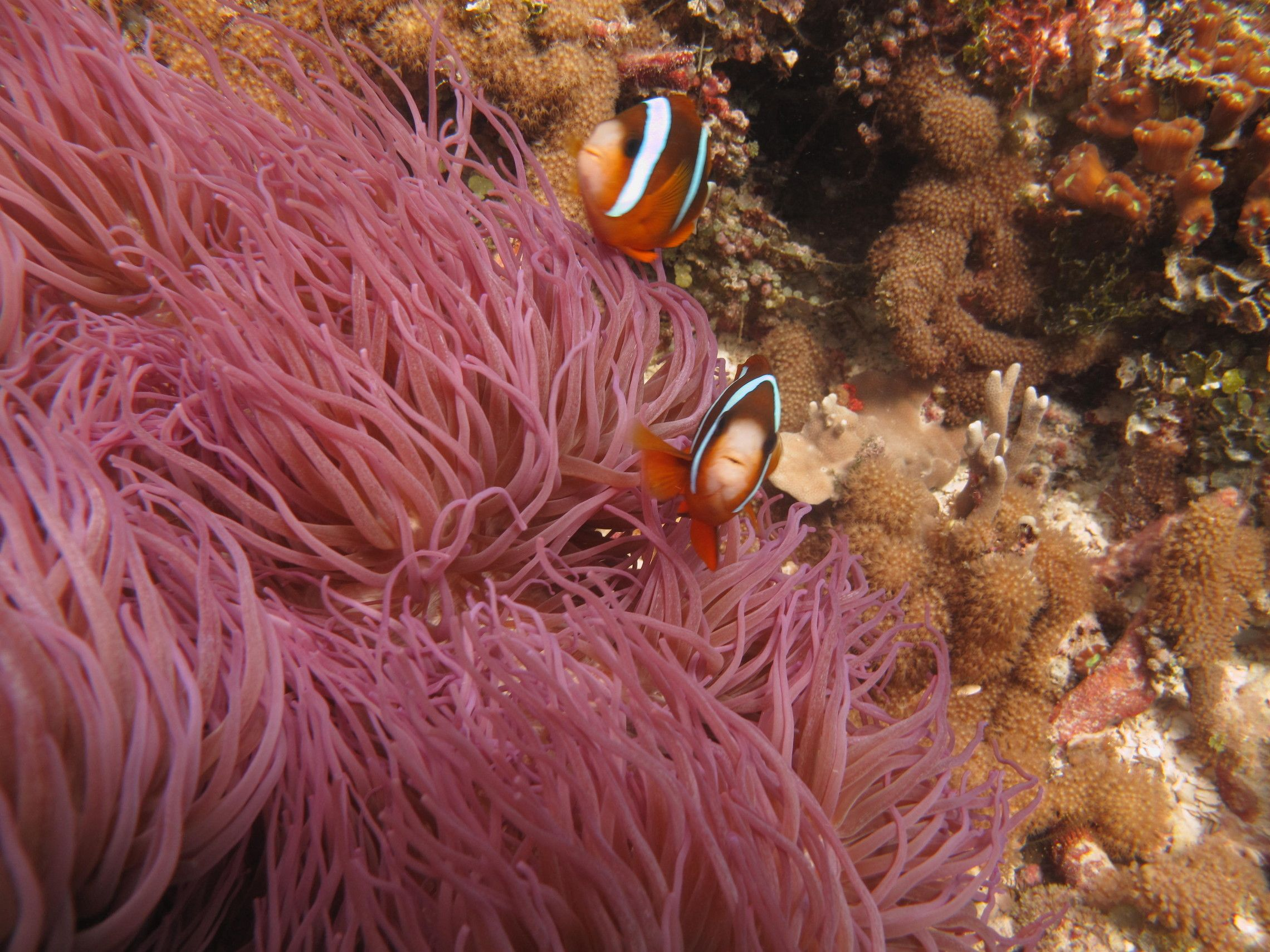 Clownfish Fact: Clownfish have a few hidden talents other than their ...
