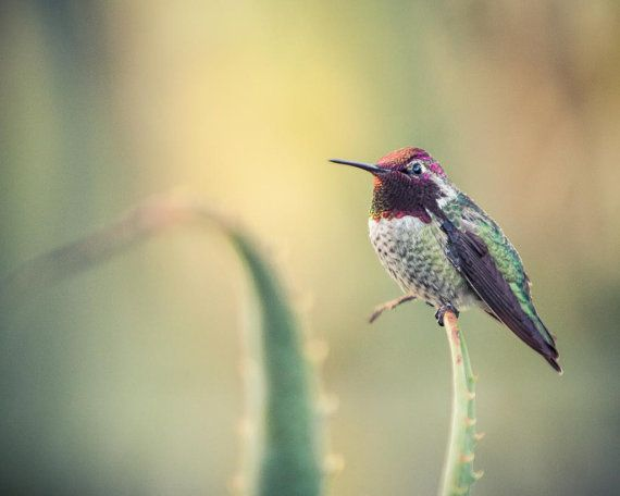 Annas Hummingbird. Prints come in 7 sizes! #Print #ForSale #Etsy #EtsySeller #EtsyStore #EtsyShop #Photography #Nature #Bird #Hummingbird #Cute #Small #Red #Green