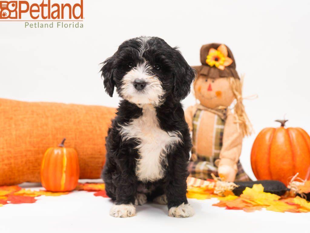 Puppies For Sale Mini Goldendoodle Puppies Puppy Friends Love Pet