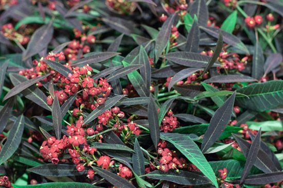 Red Euphorbia fulgens 'Kuttler Samtrot' at New Covent Garden Flower Market - October 2015
