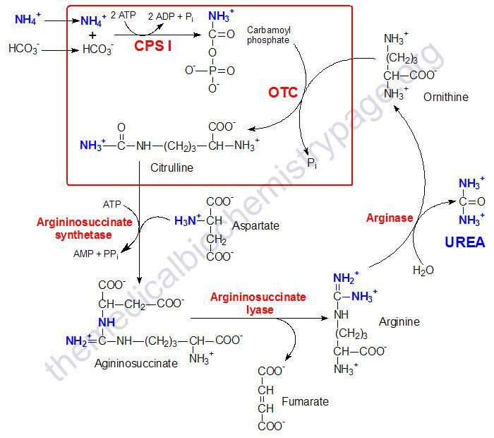 Urea cycle - in detail, with molecule diagrams medical stuff - urea cycle