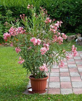 oleander tipps pflege schneiden berwintern garten. Black Bedroom Furniture Sets. Home Design Ideas