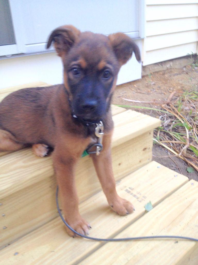 Blue Heeler Mix Puppy Mutt Puppy: Rottweiler...