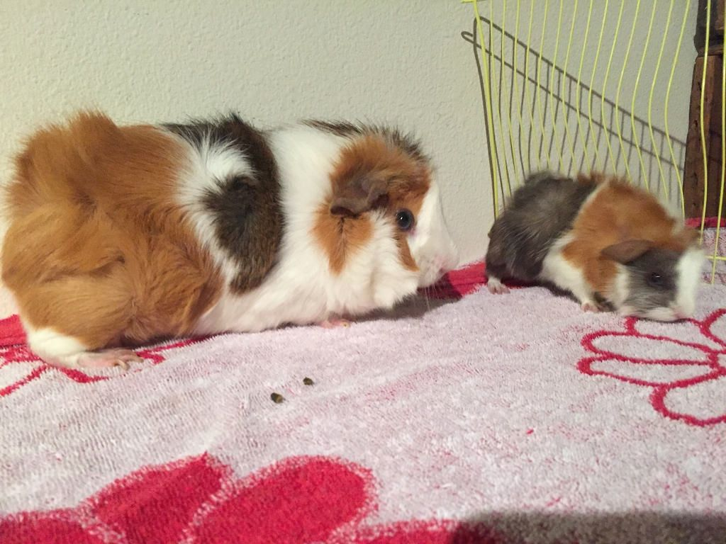 Pin on pet rabbits and guinea pig
