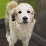 Sebastian is a 2yr old Great Pyrenees mix who was rescued first from an abusive owner then from a high-kill shelter. He arrived at the SPCA in Dallas,Tx. on 8-2-14. His ID# is 133954.