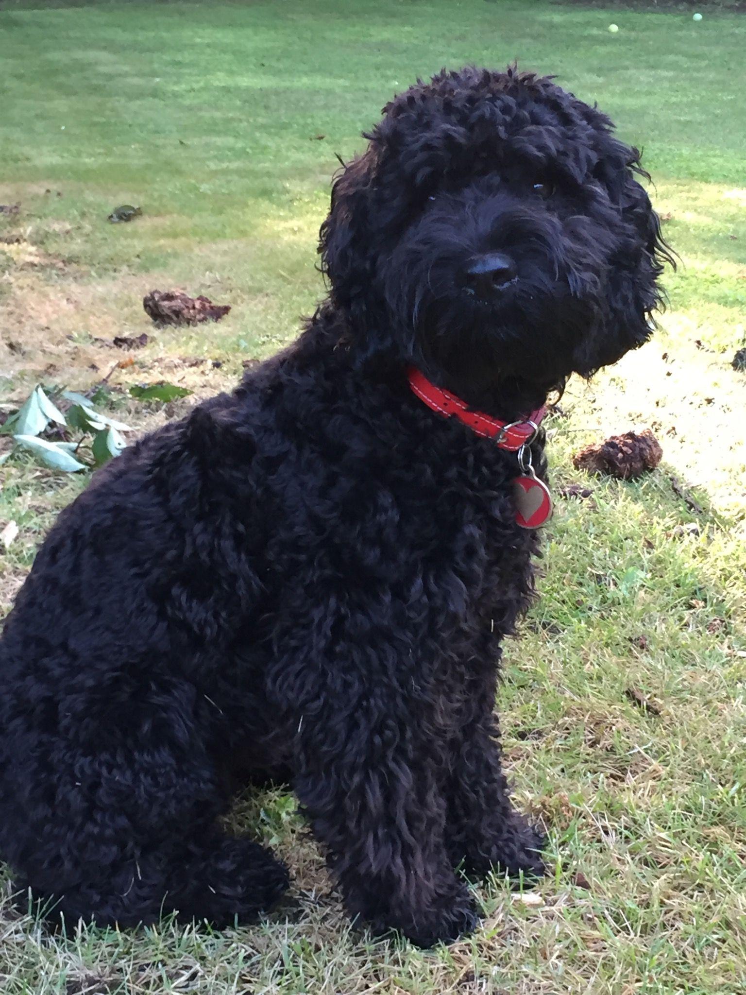 Sybil Our 9 Month Adorable Cockerpoo Black Cockapoo Cockapoo Grooming Dog Pounds