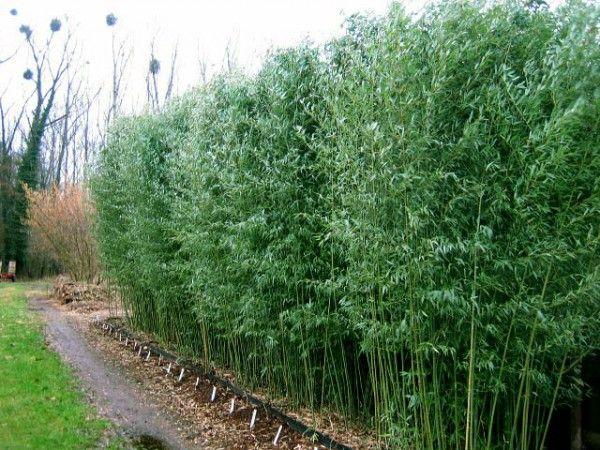 Phyllostachys Bissetii Bamboo Pinterest Bamboo Garden Oasis