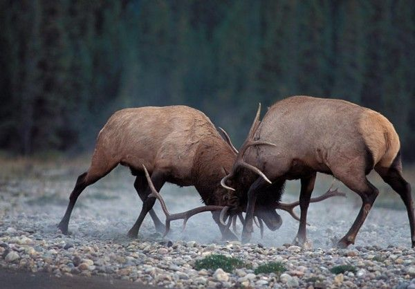 Image detail for -elk photo gallery | Animal Pictures