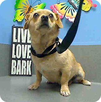 Seattle Wa Dachshund Chihuahua Mix Meet Coby Chambord A Dog